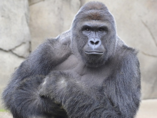 Harambe, the silverback gorilla, killed last week after a three-year-old boy fell into his pen at the Cincinnati Zoo.
